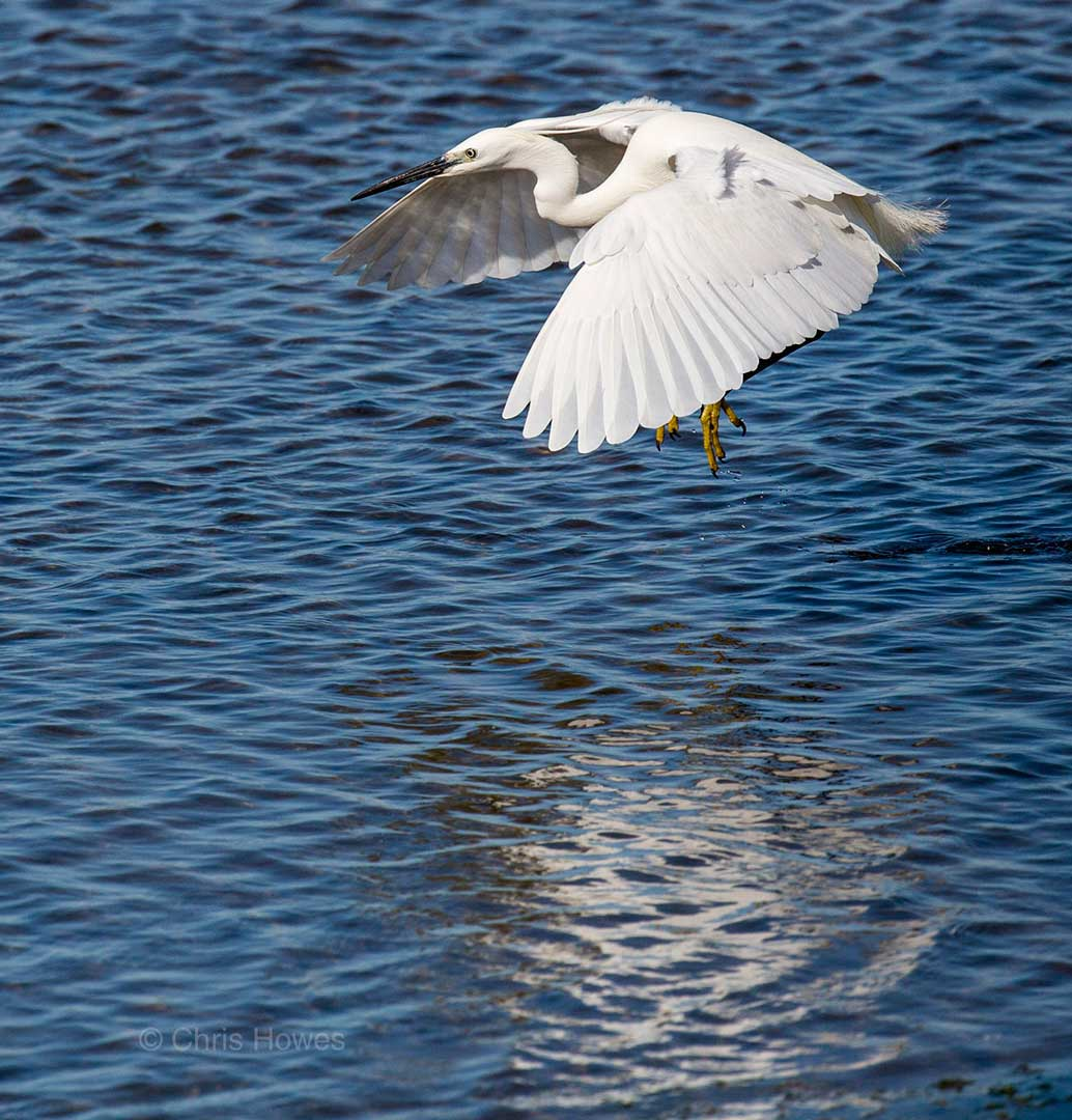 Little egret, Egretta garzetta, in flight over lagoon, Quinta de Marim, Natural Park Ria Formosa, Algarve, Portugal