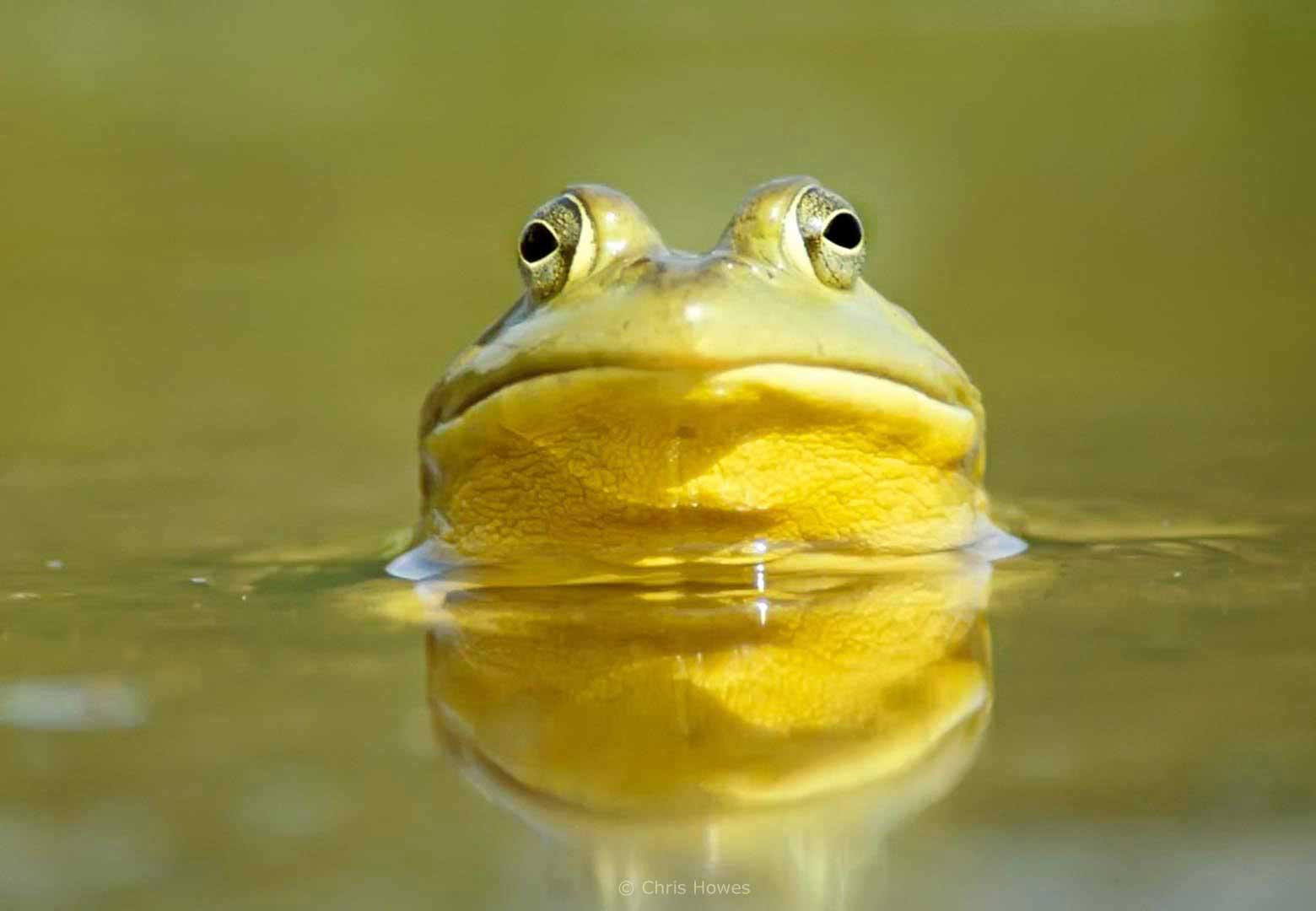 Bullfrog, Acadia, New England