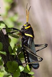 Giant Lubber Grasshopper