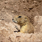 Blacktail Prairie Dog