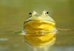Bullfrog, New England